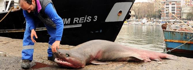 İstavrit için açıldık, kısmetimize köpek balığı takıldı