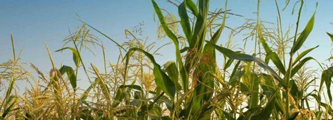 Çukurova'da mısır fiyatı bekleniyor