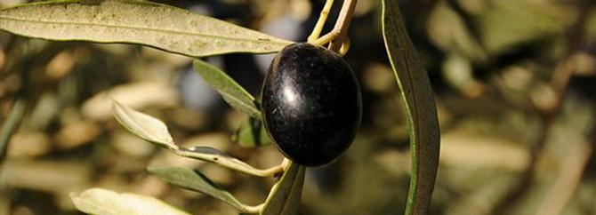 Zeytin sineği 8,5 milyon ağacı tehdit ediyor