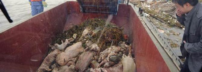 Ölü domuz sayısı 6 bine çıktı