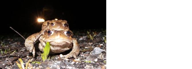 """Kurbağaların 5 bin yıllık """"göç"""" yolculuğu"""