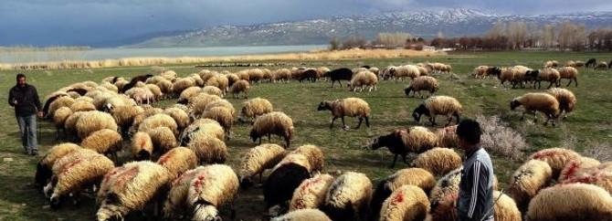 Çobanların yayla mesaisi başladı