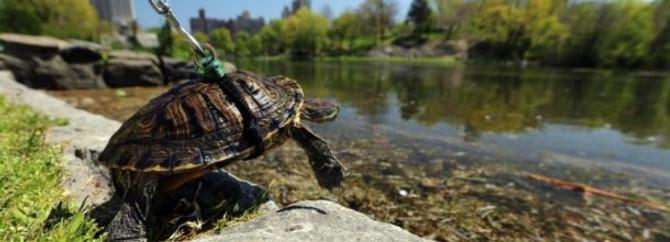 Kaplumbağasını tasmayla gezdiriyor