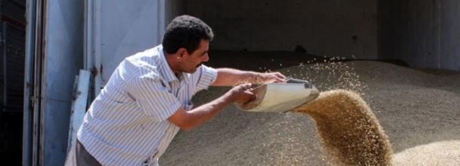 Şanlıurfa'da arpa hasadı başladı