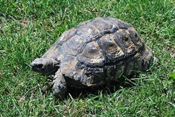 Kaplumbağa kabuğunun sırrı çözüldü