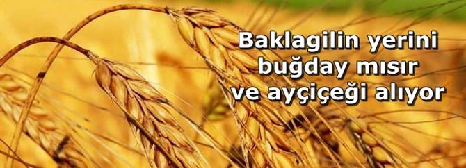 Baklagilin yerini buğday mısır ve ayçiçeği alıyor