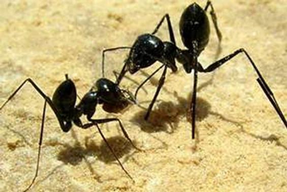 İstilacı karıncalar, ticaret yollarıyla dünyaya yayılıyor