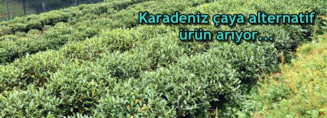 Karadeniz çaya alternatif ürün arıyor...