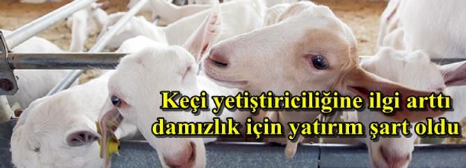 Keçi yetiştiriciliğine ilgi arttı damızlık için yatırım şart oldu