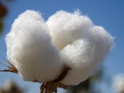Manisa'da pamuk ekimi arttı