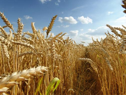TİGEM'den 20 bin tonluk buğday satışı