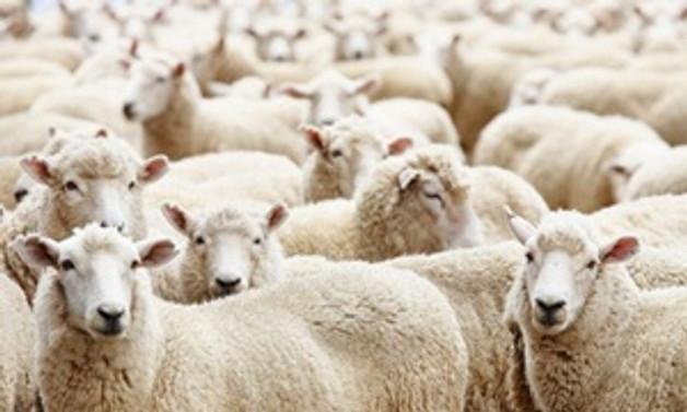 Üretim arttı, koyun ve kuzu eti ucuzladı