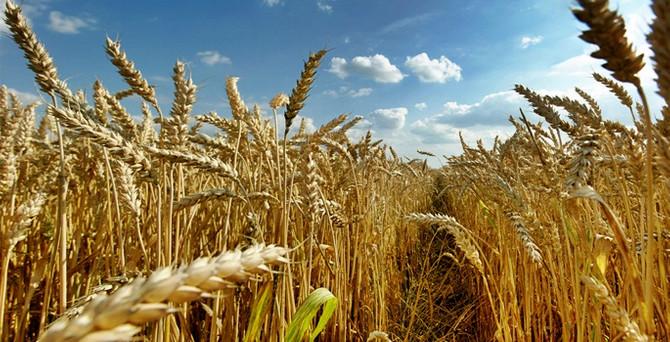 Kuraklık, buğdayda rekolteyi etkileyecek