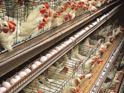 Yumurta üretimi yüzde 5 arttı