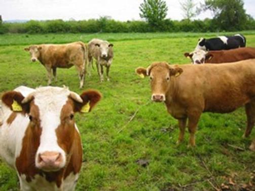 10 bin besilik hayvan için ithalat başvurusu
