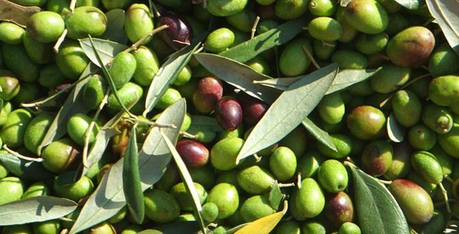 TZOB: Zeytin alanları korunmalı