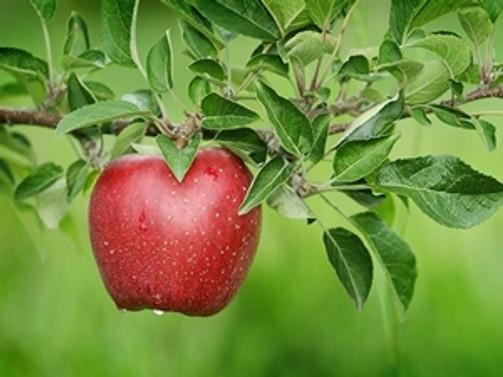 Elmada rekolte arttı, 10 yıl sonra üreticinin yüzü güldü