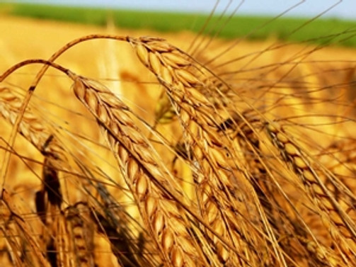 Sezonun ilk buğdayı borsaya geldi