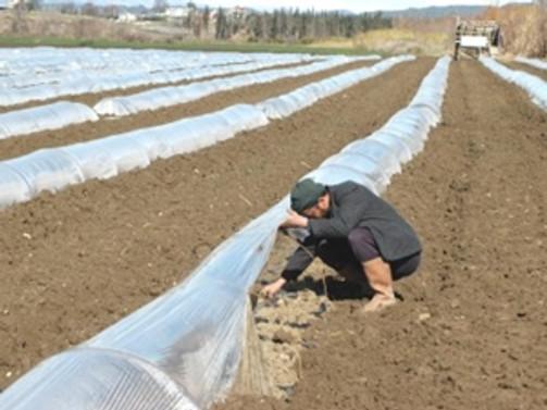 Yılın ilk örtü altı karpuz üretimi başladı
