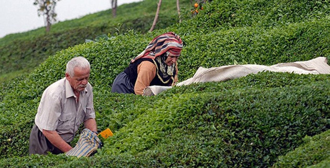 ÇAYKUR 112 bin ton yaş çay aldı