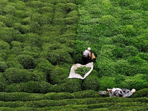 Birinci sürgünde 200 bin tona yakın yaş çay alındı