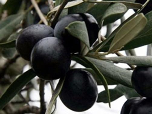 Aşırı yağışlar, zeytin üretimini olumsuz etkiledi