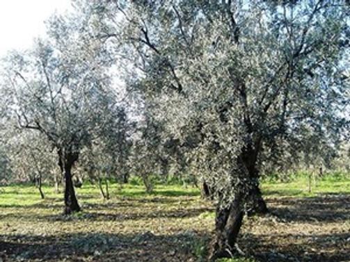 Zeytinlik Sahaları Koruma Kurulu oluşturuluyor