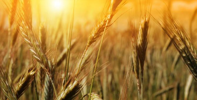 Rusya'nın tahıl ihracat yasağı, piyasada endişe yarattı