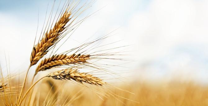 TMO 200 bin ton ekmeklik buğday ithal etti