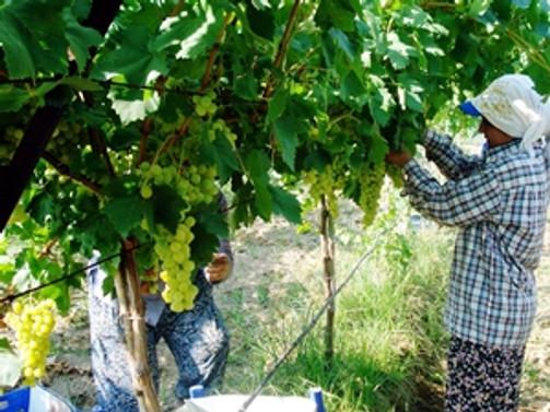 Manisa'da erkenci türü üzümün hasadına başlandı