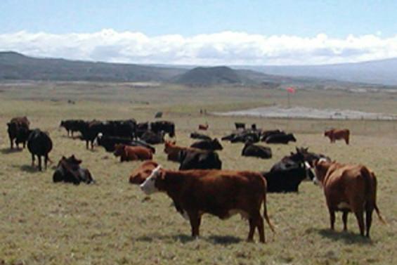 Canlı sığır ithaline devam
