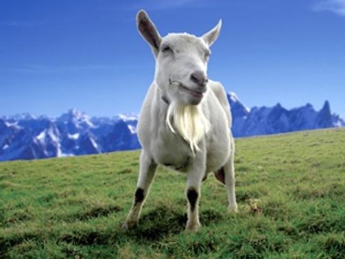 Keçi sütü 'yok satıyor'