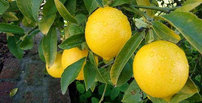 Limon sezonda bile el yakacak