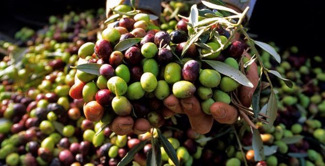 """Marmarabirlik'ten """"organik zeytin"""" üretimine yeşil ışık"""
