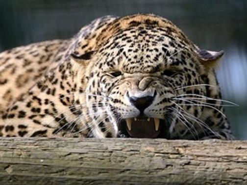 Kendisine saldıran leoparı kürekle öldürdü