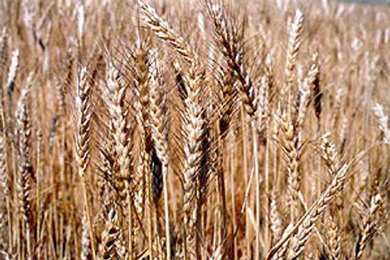 """""""Türkiye'nin tüketimini karşılayacak buğdayımız var"""""""