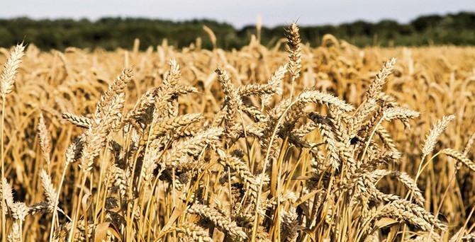 """""""Buğdayda TMO piyasayı kilitledi"""""""