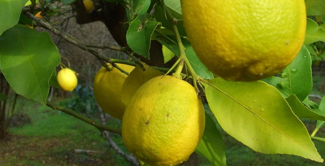 Limonun fiyatı 12 liraya kadar çıktı