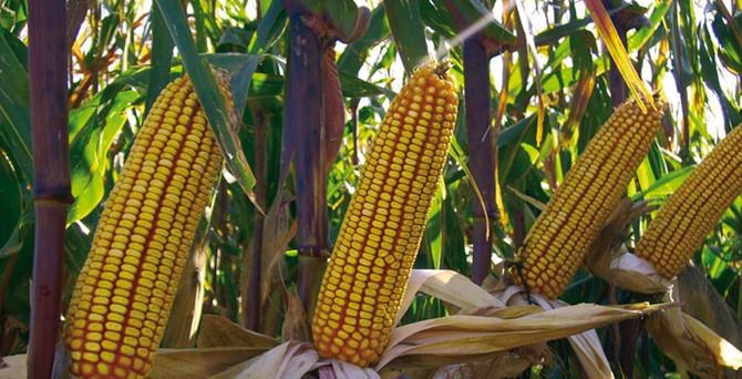 Yağışlar mısır ekimini etkiliyor