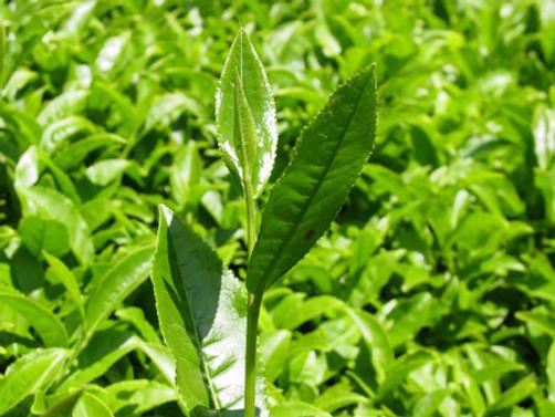 Yaş çay budama bedelleri 26 Temmuz'da ödenecek