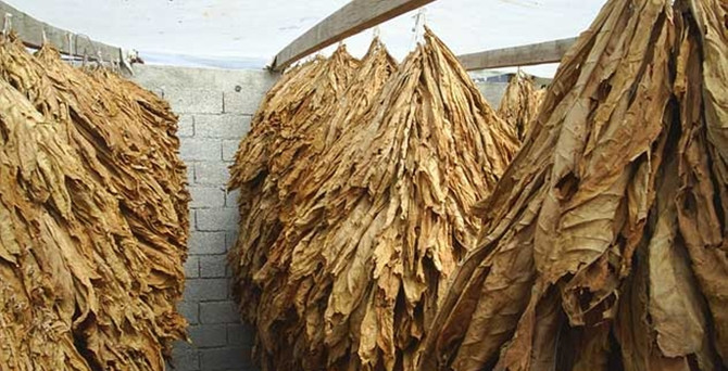 Tütün ihracatında tarihi rekor