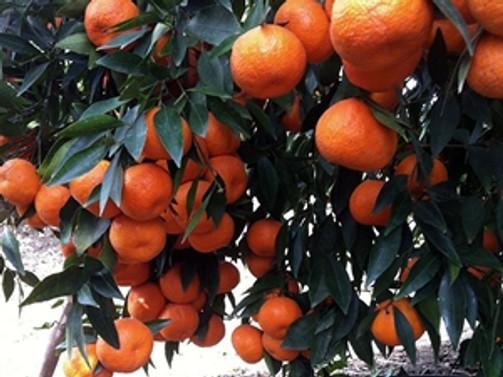 Patentli mandalinalar ihracata güç katacak