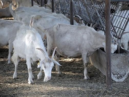 Ön yargı, keçi eti tüketimini azaltıyor