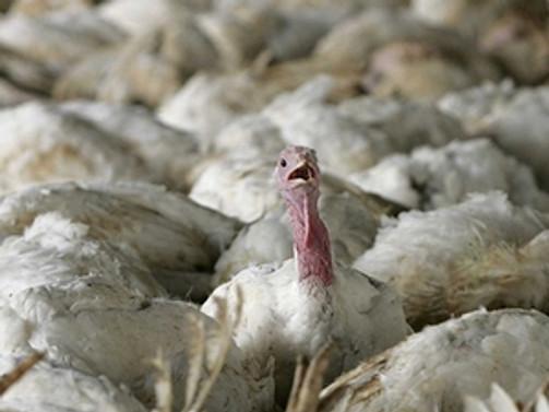 BM'den yeni 'kuş gribi' uyarısı
