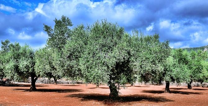Türkiye'de 167 milyon zeytin ağacı var