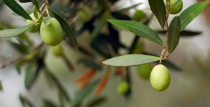 """Zeytinyağı ihracatında """"yok yılı"""""""