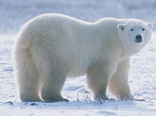 Kutup ayıların sayısı yüzde 40 azaldı