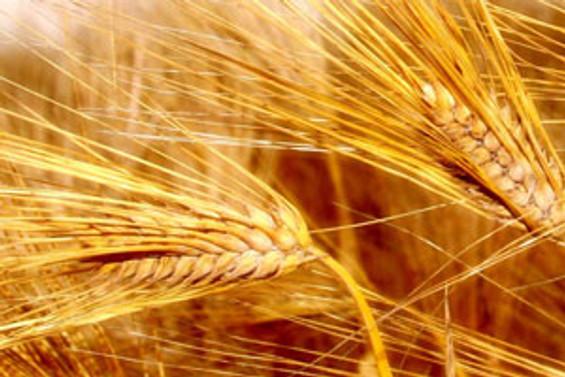 """Buğday üretimi 645 milyon ton olacak"""