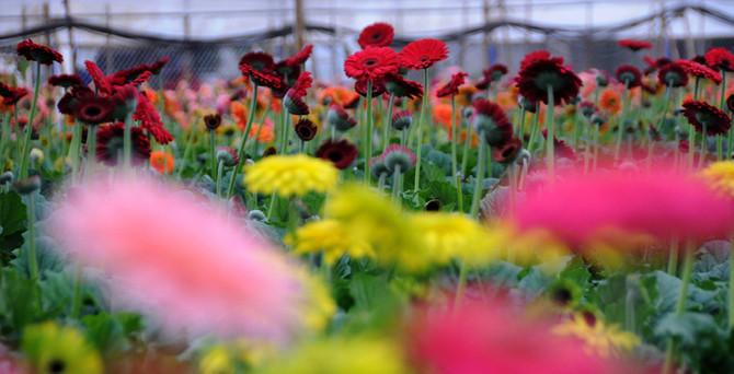 Dünya yeni yıla Türk çiçekleri ile girecek