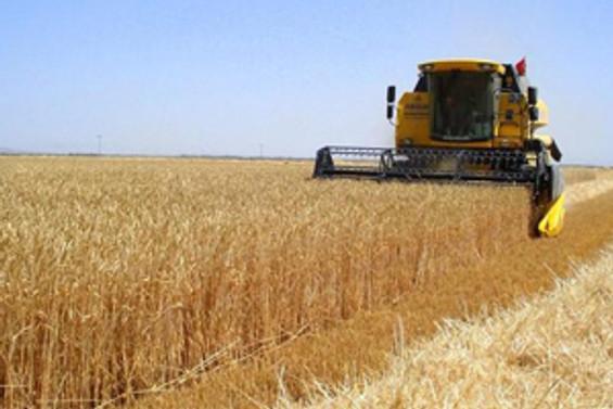 Aşırı sıcaklar buğday tahminini aşağı çekti